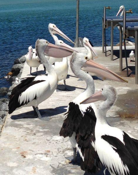 Pelicans! - by Funky Biology