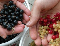 Wisconsin farmer Erin Sneider is on a mission to get more perennial, native fruits—the currant, in particular—back in vogue and onto our plates.