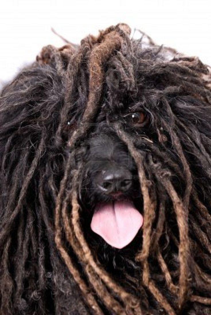 Puli dog photo | -close-up-head-study-of-a-puli-dog-on-a-255-white-background--the-dog ...