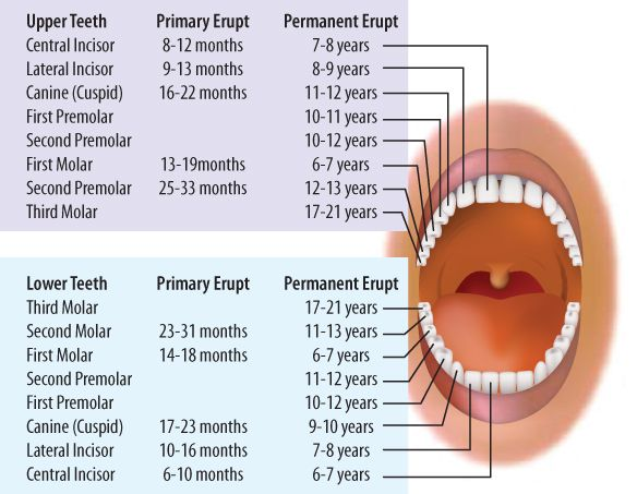 The 25 best teeth eruption chart ideas on pinterest toddler primary tooth eruption chart ccuart Gallery