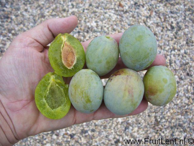 8 best images about varietes anciennes de prunes on - Variete de pommier rustique ...