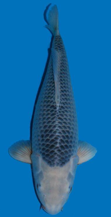 29 besten asagi koi bilder auf pinterest fische for Japanische kampffische