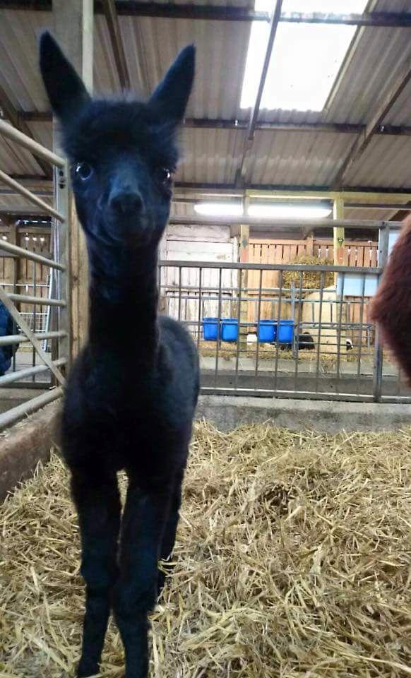 Baby Alpaca at Smithills Farm, Bolton April 2015