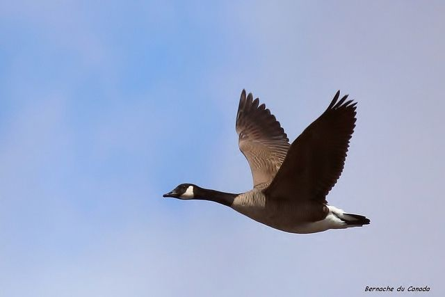 Canada Goose / Bernache du Canada   Flickr – Chia sẻ ảnh!