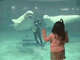 Playful Beluga Whale