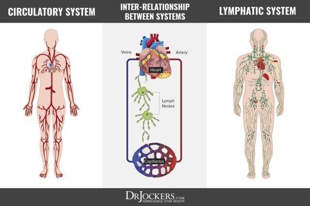 Lymphatic System Diagram For Kids Koibana Info Lymph System Lymphatic System Lymphatic System Diagram