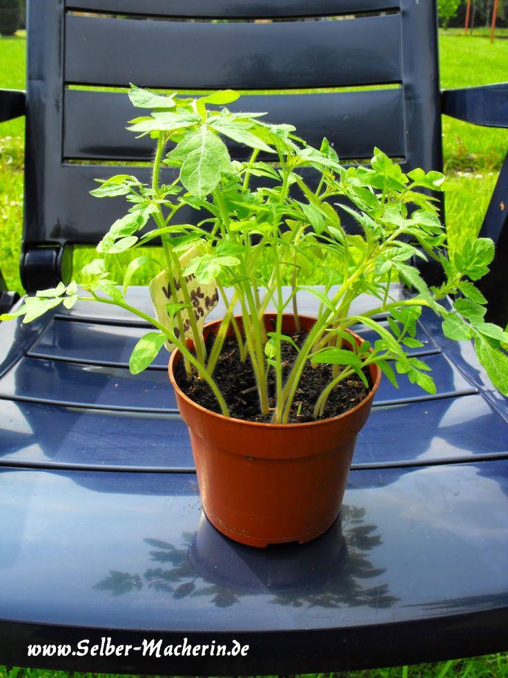 die besten 17 ideen zu tomaten z chten auf pinterest wachsende tomaten wachsende paprika und. Black Bedroom Furniture Sets. Home Design Ideas