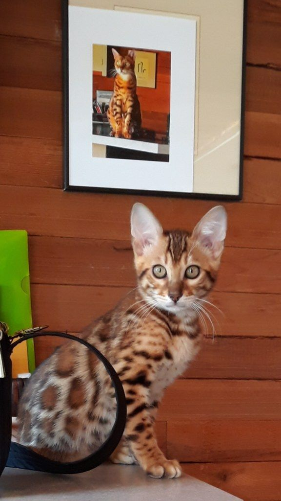 One Of Our Bengal Boys In His New Home We Love It When We Get Pictures After They Leave We Are Registered Ben Bengal Kittens For Sale Cattery Bengal Kitten