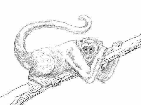 Mono Araña Lanudo Dibujo para colorear