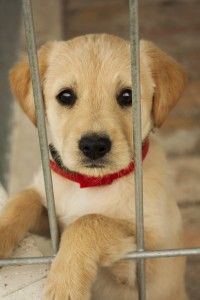 Golden Puppy in Shelter Dog Health News 200x300 Spay and Neuter Your Dog and You Get These 6 Benefits