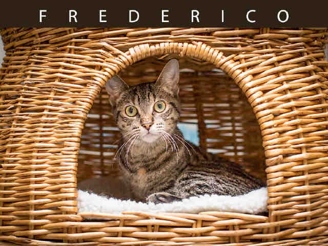 Oh hi! Frederico (A628707) is now up for adoption! Cat