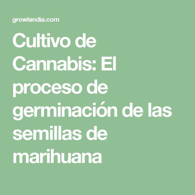 Cultivo de Cannabis: El proceso de germinación de las semillas de marihuana