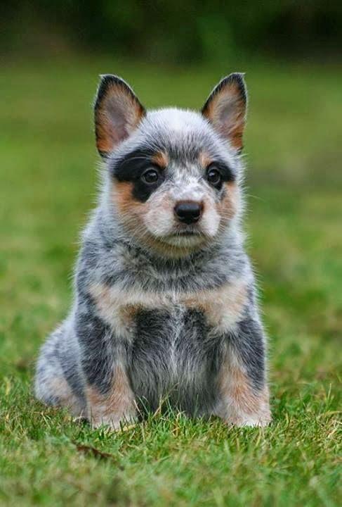 •♥•✿ڿڰۣ(̆̃̃•Aussiegirl  #Dogs Australian Blue Heeler Puppy