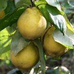 Portugal - Fruitbomen.net Mobiel