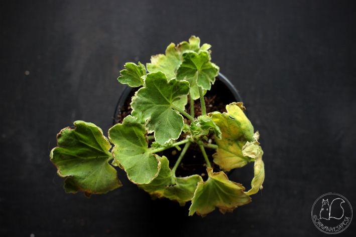 Oravankesäpesä   Koristelehtipelargoni Pelargonium 'Melosilver'
