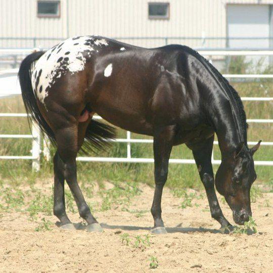 Beautiful appaloosa stallion