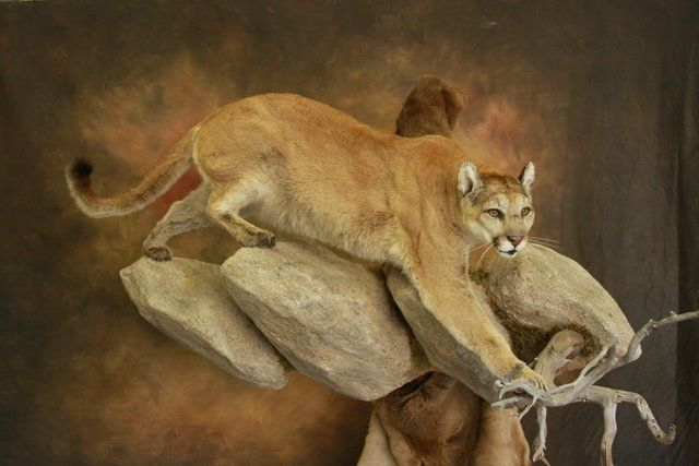 Mountain Lion Taxidermy | HAPpy ending to this lion hunt!!!