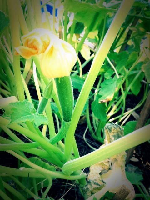 #G.vegetablegarden #ortointerrazza #piccoliortidomesticicrescono #ortocapovolto #fioridizucca #ortopallet