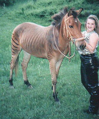 """""""Z.J."""" the zorse and his owner, Sarah - photo from S.E.A. Ponies, Horses, Zorses, and Zebras   ...the link works, but the site is """"old"""" and the new link doesn't have this photo..."""