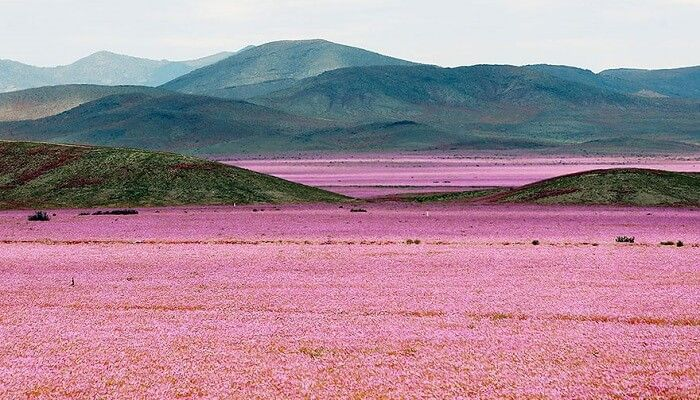 Désert Atacama, fleurs, Chili
