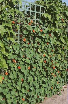 Capucine grimpantes : De Lobb (3 m), grandes fleurs simples aux coloris variés Reine des Panachées (3 m), fleurs simples aux coloris variés Scarlet Gleam (3 m), fleurs doubles aux colori écarlate Red Wonder (2 m), fleurs simples rouge Banana Split (2 m), fleurs jaunes à macules oranges Bon à savoir : attention à l'emplacement de vos semis de capucines car elles se ressèment. Treillage - P. Asseray - Rustica