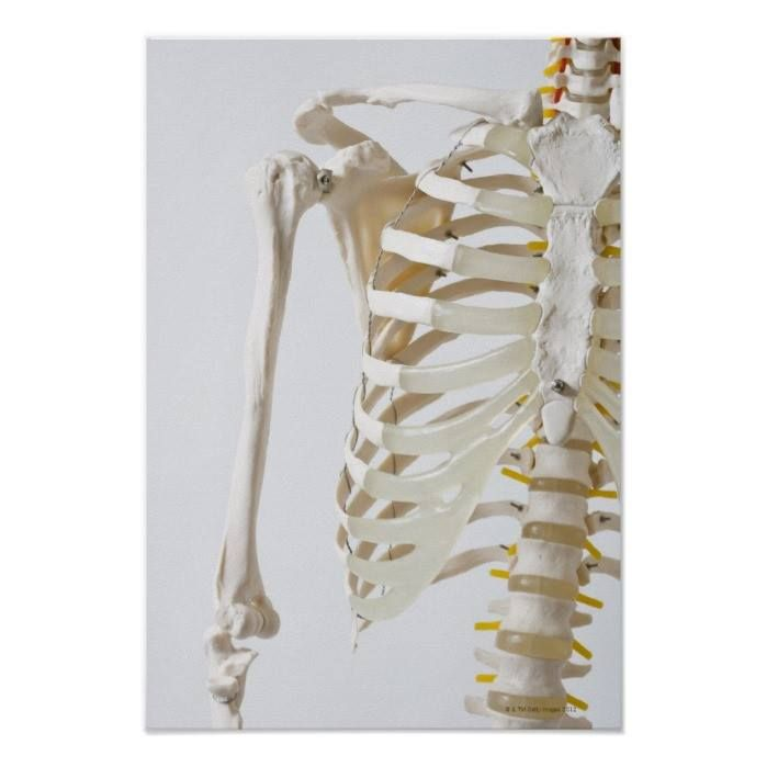 Customizable #Anatomical#Model #Anatomy #Biology #Close#Up #Color#Image #Colored#Background #Consumerproduct #Education #Focus #Front#View #Gray#Background #Healthcare#Medicine #Human#Arm #Human#Body#Part #Human#Bone #Human#Joint #Human#Representation #Human#Skeleton #Human#Spine #Ideas #Midsection #No#People #Part#Of #Photography #Research #Rib#Cage #Science #Selective#Focus #Series #Shoulder #Studio#Shot #The#Human#Body #Vertical Midsection of an anatomical skeleton model poster available…