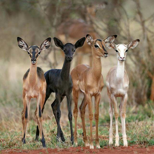 Antelope of every colour - just gorgeous.