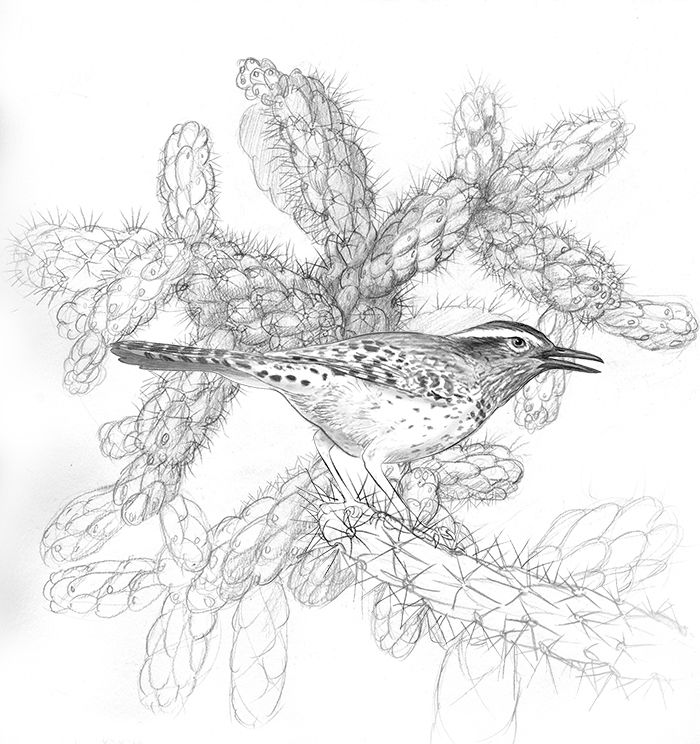 Cactus wren and jumping cholla, illustration by Paul