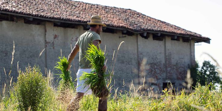 Carnaroli rice, Busonengo, Piedmont.