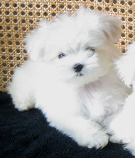 13 WEEKS TEACUP MALTESE PUPPY FROM LACHICPATTE.COM #teacupdogslist #teacupdogs…