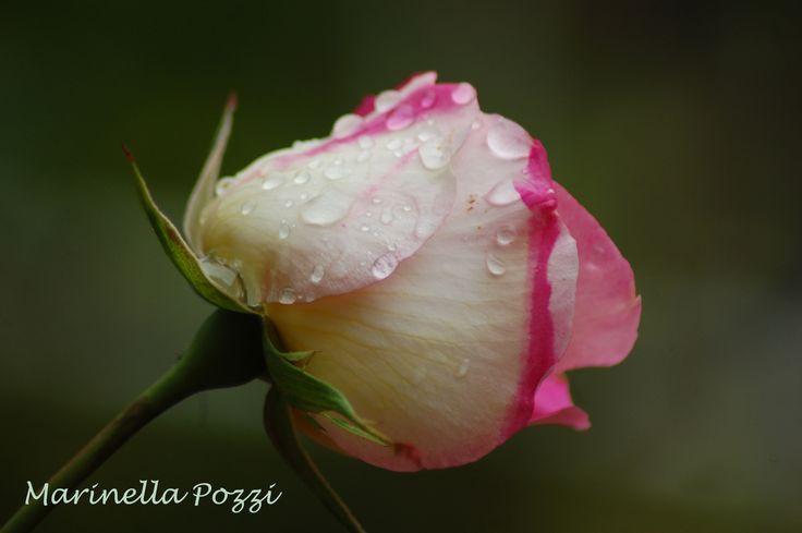 sweet Rose...