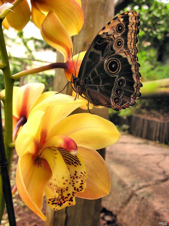 Yellow Orchid & Butterfly