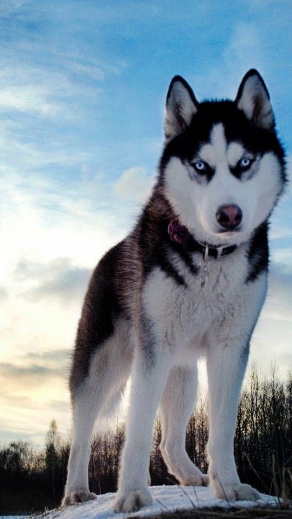 14 Dog Breeds Closely Related To Wolves