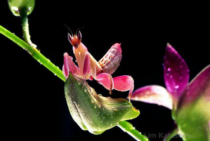 De orchidee sprinkhaan... Bijzondere beestjes Pinterest
