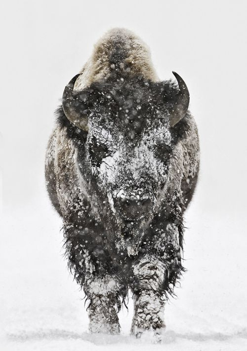 Bison head-on in snow in Yellowstone National Park, Wyoming.