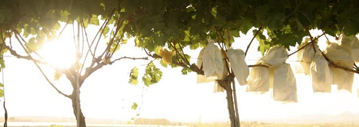 Виноград Виналопо Valley (Испания) созревает в бумажный пакет.    #виноград Испании