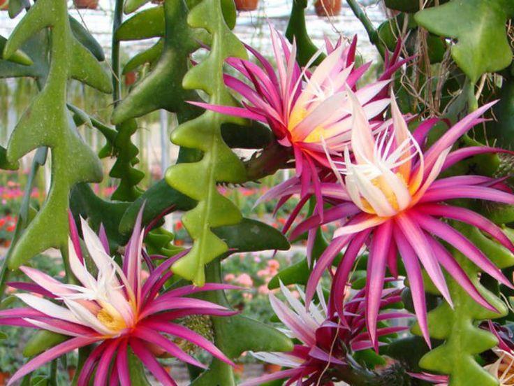 Zig-Zag Cactus (Cryptocereus anthonyanus)