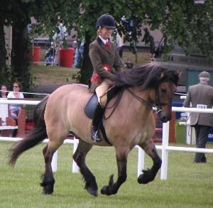 Trowan Moulin, Kellwould Highland Ponies