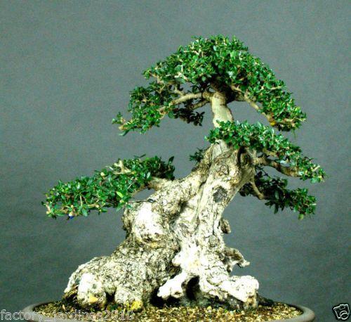 Olivo Acebuche. Olea europaea OLIVO SILVESTRE. Apto Bonsai. 100 Semillas-Seeds.