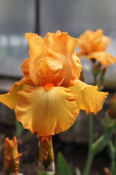 Tall Bearded Iris `Avalon Sunset� - iris4u.com
