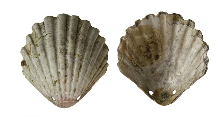 A thirteenth-century drilled scallop-shell pilgrim's badge found in excavations at Winchester, England; the scallop shell 'was the cherished memento of a pilgrim who had been to the shrine of St James at Compostela, Spain'; the scallop became the first Western Christian pilgrimage symbol. (Winchester City Museum)