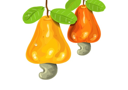 Vector illustrated Cashews