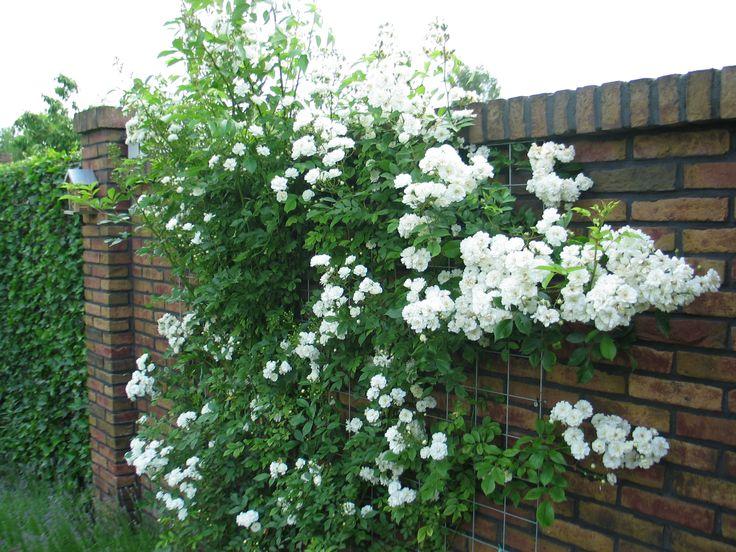 """Rosa  """"Guirlande d' Amour""""  doorbloeiende klimroos 300 cm."""