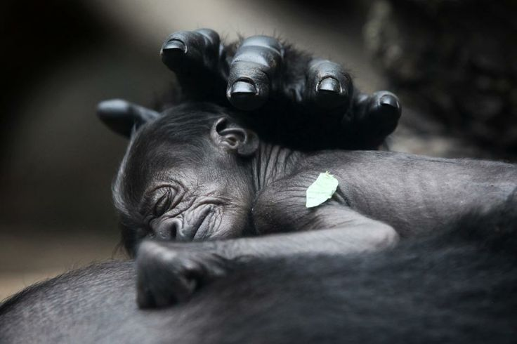 A gorila Rebecca cuida de seu filhote recém-nascido no zoológico de Frankfurt, na Alemanha. O cuidado é tanto que os cuidadores ainda não conseguiram identificar o sexo do filhote, que permanece sem nome.
