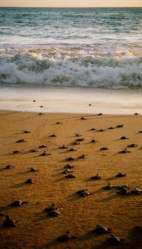 Baby Turtles   Sri Lanka