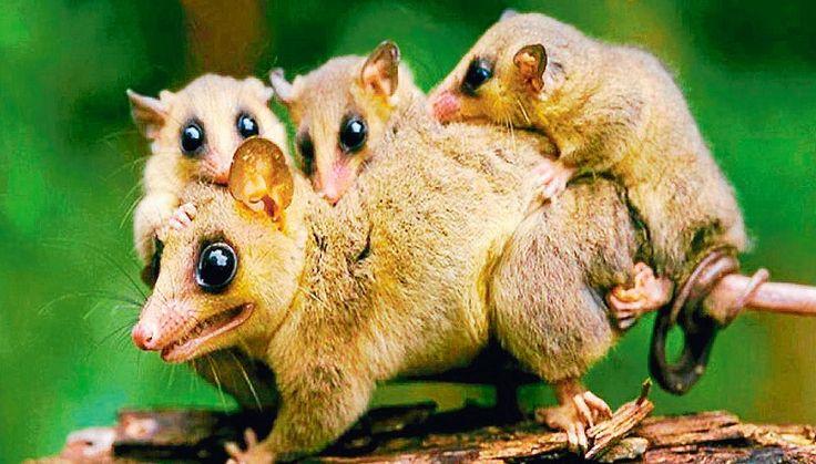 MOM AND LOTS OF BABIES _   MONITO DEL MONTE @ Colocolo @ colocolo opossum,