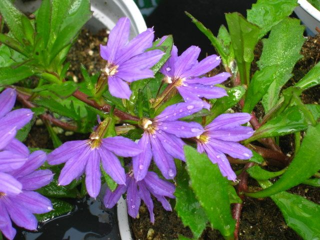 15 Best Scaevola Fan Flower Images On Pinterest Container Garden Courtyard Ideas And Courtyards