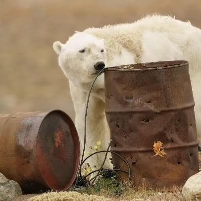 """This is what a starving—not old—polar bear looks like. The muscles atrophy. They have no energy. It's a slow, painful death. When scientists say polar bears will be extinct in the next 100 years, I think of 25,000 bears dying like this. There is no band aid solution. The simple truth is this—if the Earth continues to warm, we will lose species. We must reduce our carbon footprint, go vegetarian, stop cutting down our forests, and begin putting the Earth—our home—firs..."