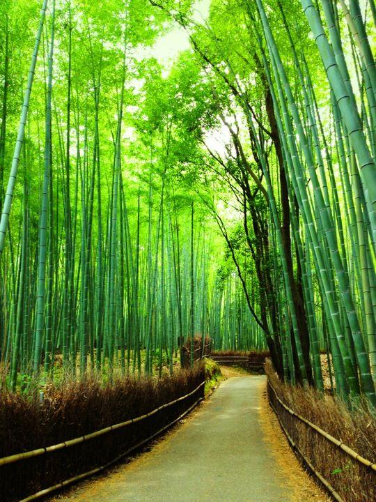 竹林の小径 (Kitasaga Bamboo Grove) in 京都市, 京都府 - Bamboo Forest Japan