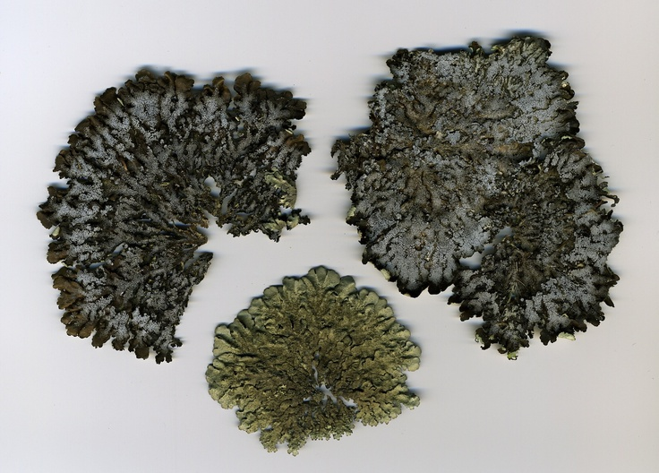 nature's small wonders.. lichen scanned in high res. look like arial landscapes